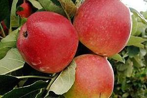 DTGFP_Fruit1.jpg / National Fruit Collection
