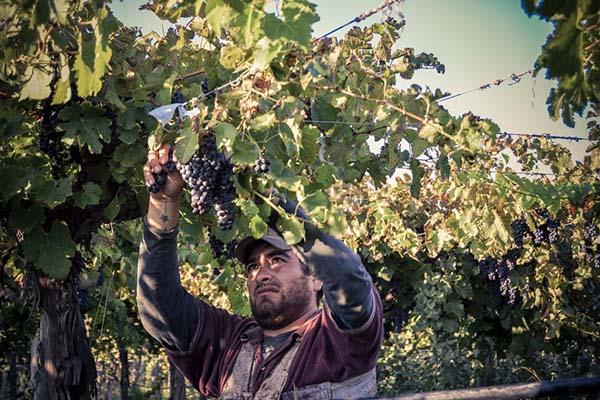 Wine, organic, vineyard, grape picking