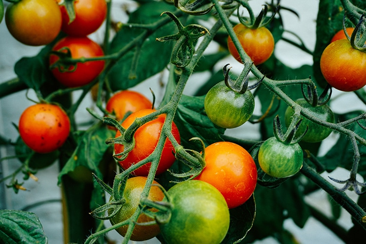 Packed lunches, tomatoes on the vine