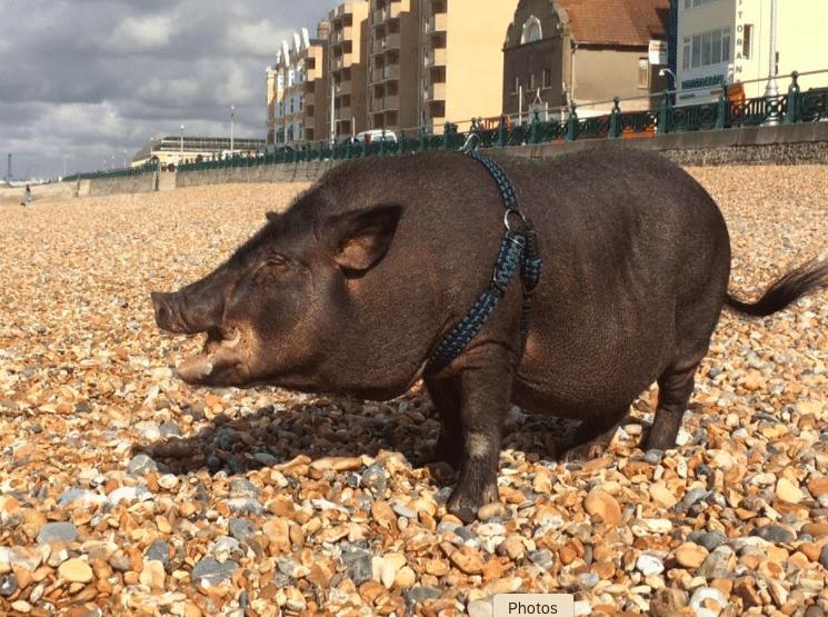 Louie the little pig