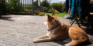 A dog sitting on the decking on a sunny day